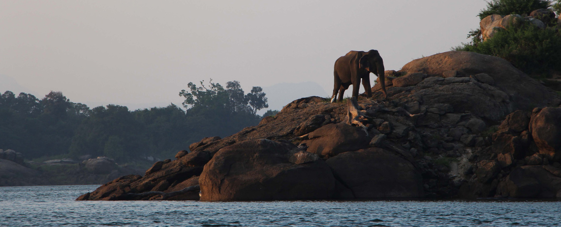 Asian elephant living peacefully in its natural habitat, Gal Oya Sri Lanka