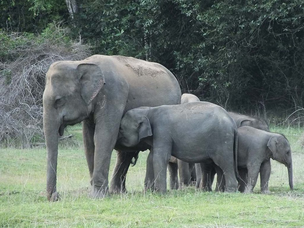 Asian Elephant Family in Gal Oya National Park